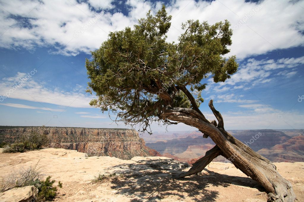 Tree in Grand Canyon,  Arizona, USA — Stock Photo #1077053