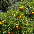 Mature oranges on tree — Stock Photo