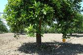 Mature oranges on tree — Stock Photo
