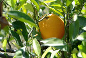 Mature orange on tree — Stock Photo