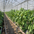 Stock Photo: Greenhouse pepper plants.