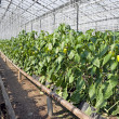 Greenhouse pepper plants. — Stock Photo #1043970