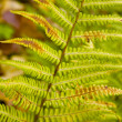Royalty-Free Stock Photo: Fern.