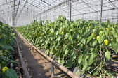 Greenhouse pepper plants. — Stock Photo