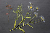 The dried flowers for a herbarium. — Stock Photo