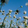 Stock Photo: Flowers camomiles