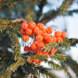 Wild ash and spruce branch — Stock Photo
