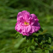 Dogrose flower - Stock Photo