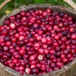 Cranberry crop in a basket. — Stock Photo