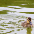 Duckling on the water — Stock Photo