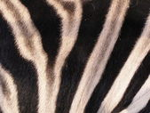 The skin of zebra — Stock Photo