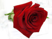 Red rose against the white background — Stock Photo
