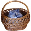 The cat in the basket — Stock Photo