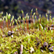 Stock Photo: Flowering of moss