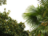 Leaves of palm and bay tree — Stock Photo