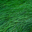 Royalty-Free Stock Photo: Green grass.