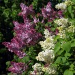 Stock Photo: Purple and White Lilac