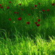 Stock Photo: Green Grass Red Tulips