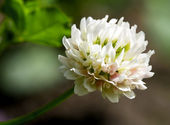 White clover (trifolium repens) — Stock Photo