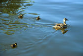 Big duck and three ducklings — Stock Photo
