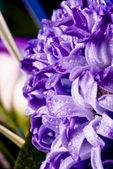 Blue fuzzy (hyacinthus orientalis) with — Stock Photo