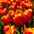 Stock Photo: Bed of tulips