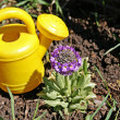 Small watering-can and small primrose — Stock Photo