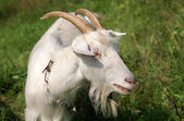 White goat on a meadow — Stock Photo