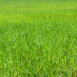 Green grass field — Stock fotografie