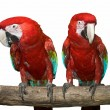 Two red tropical wild parrot - Stock Photo