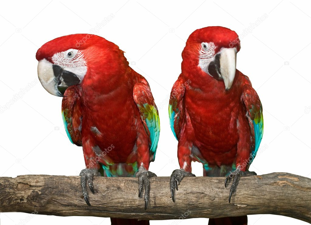 Two red tropical wild parrot. Isolated.  Stock Photo #1056265