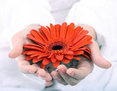 Red gerbera in women hand. Spa. — Stock Photo