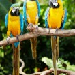 Stock Photo: Three parrot in green rainforest.
