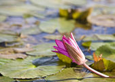 Water lily on nature pond. — Stock Photo