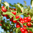 Stock Photo: Nanking Cherry