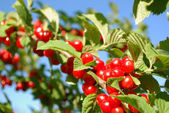 Nanking Cherry — Stock Photo