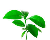 Small plant of citrus — Stock Photo