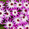 Purple Aster Cluster - Stock Photo