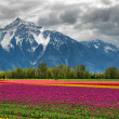 Tulips and Mountain - Stock Photo