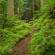 Pacific Northwest Rainforest Path - Stock Photo