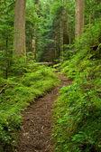 Pacific Northwest Rainforest Path — Stock Photo