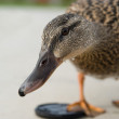 Royalty-Free Stock Photo: Curious duck