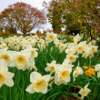Daffodil flower bed — Stock Photo