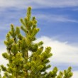 Pine tree against the sky — Stock Photo #1061304