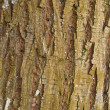Cottonwood Tree Bark — Stock Photo