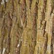 Cottonwood Tree Bark — Stock Photo
