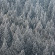 Frozen Fir Trees — Stock Photo