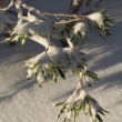 Snow covered pine needles — Stock Photo