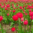 Rows of Red Tulips — Stock Photo
