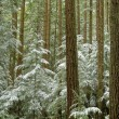 Foto Stock: Winter evergreen forest